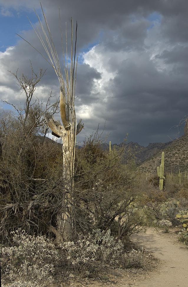 Saguaro Sketeton in Sabino Canyon
