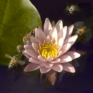 Bees working on a pink and yellow water lilly, some hand coloring.