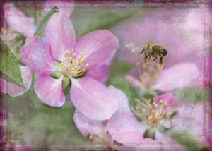 Honey bee is flying into the pink blossoms, hand colored