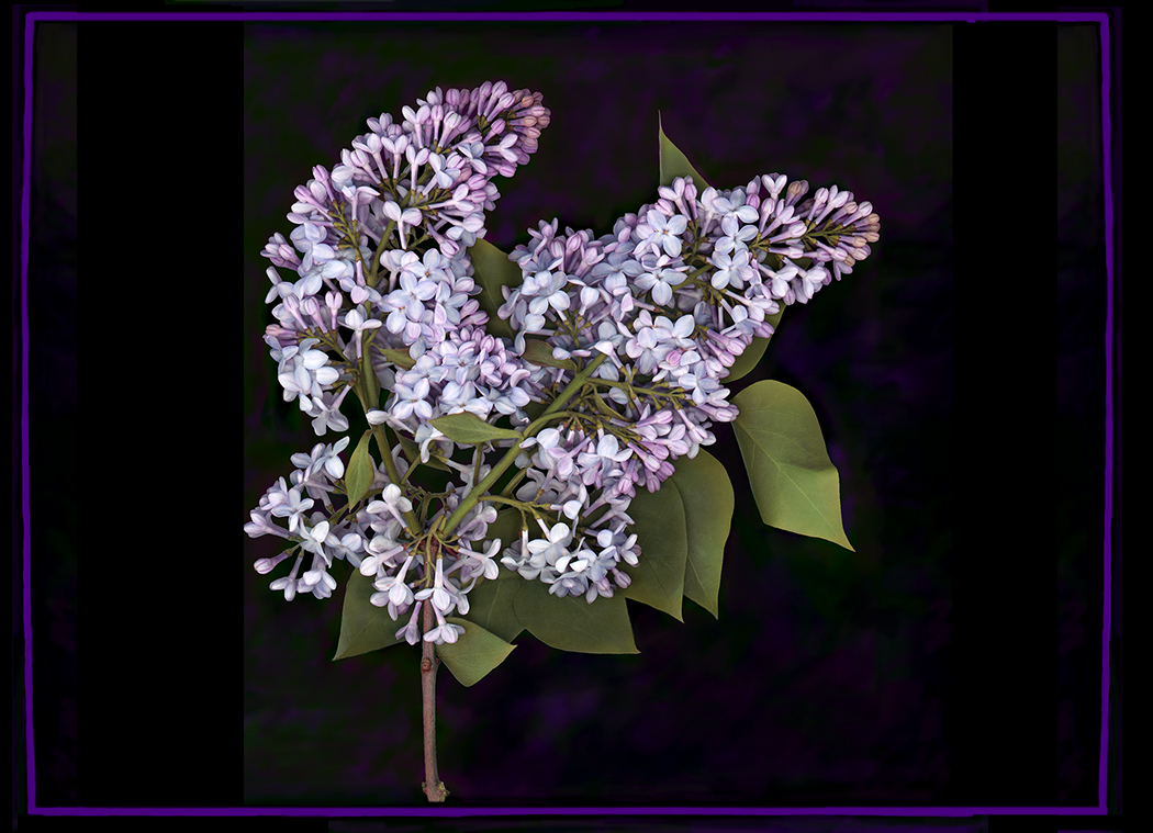 Purple lilacs with black background and lilac frame