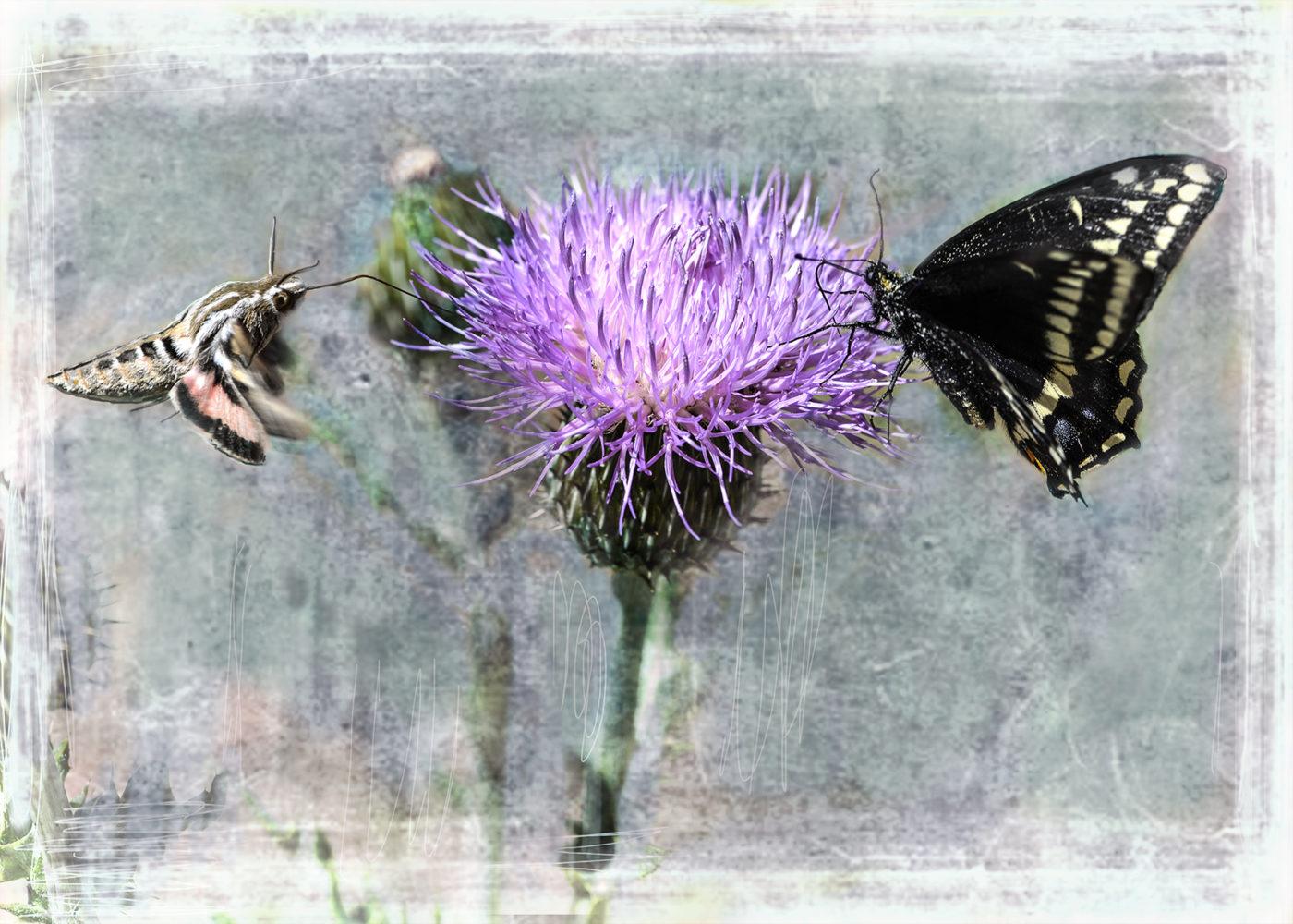 melancholy thistle pollination